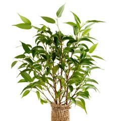 Ficus benjamina closeup
