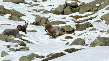 Combattimento di Stambecchi. Ibex