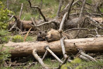 Braunbär mit Jungtier