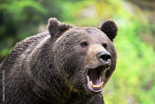 Fotobehang Dragen Braunbär brüllt
