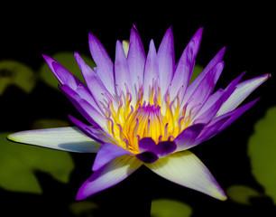 Blooming Serenity Lotus Closeup