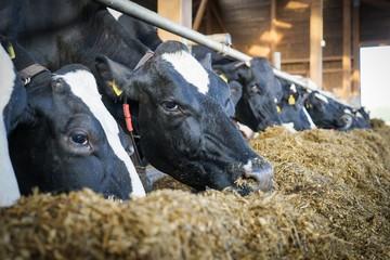 Kühe im modernen Milchviehstall fressen  Grassilage