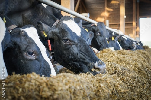 Foto op Aluminium Koe Kühe im modernen Milchviehstall fressen Grassilage