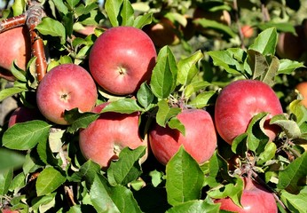 Red apples in branch of an apple tree
