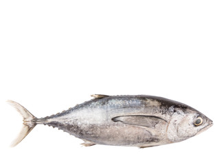 Mackerel tuna or ikan tongkol over white background