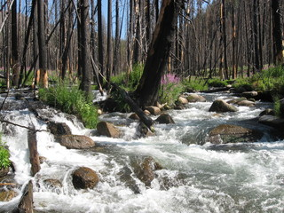 Stream through burned trees