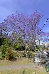 Jacaranda tree in full bloom, NSW Australia