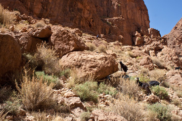 Goats in Dades Gorge valley