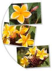 fleurs de frangipanier