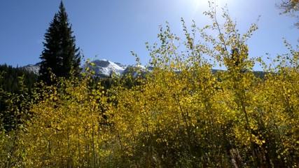Yellow Aspen Trees against blue Sky Autumn Colorado Landscape