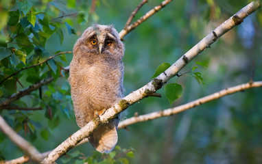 Long-eared owlet