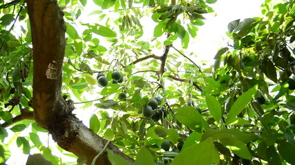 Avocados tree fruit