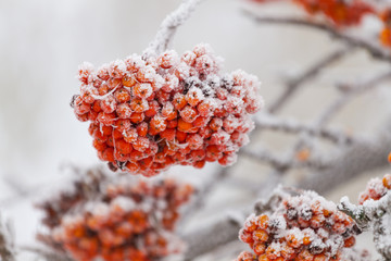 Rowanberry tree