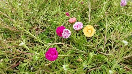 Beautiful Moss-rose flower