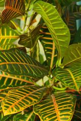Leaves of croton tree Codiaeum