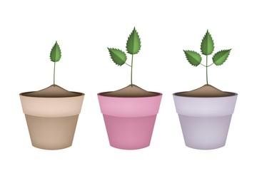 Three Green Trees in Terracotta Flower Pots
