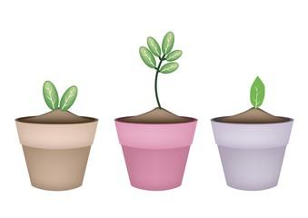 Fresh Green Trees in Terracotta Flower Pots