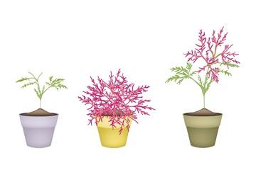 Beautiful Pink Flower on Tree in Terracotta Pots