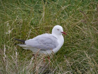 Silver gull on Philip island in Australia