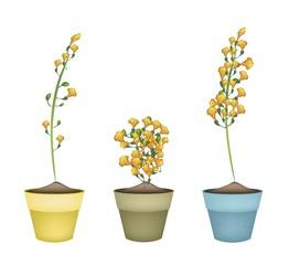 Yellow Padauk Flower in Ceramic Flower Pots