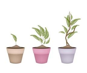 Fresh Tamarind Tree in Terracotta Flower Pots