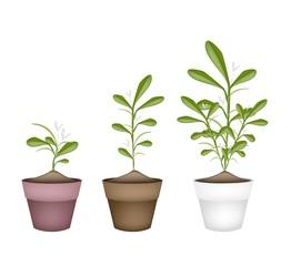Lovely Green Mistletoe in Ceramic Flower Pots