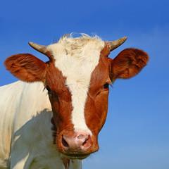 Head of the calf against the sky.