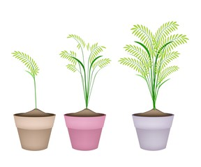 Cereal Plants or Ferns in Terracotta Flower Pots