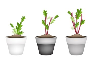 Radish Or Beet Plant in Ceramic Flower Pots