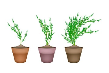 Fresh Carrot Trees in Ceramic Flower Pots
