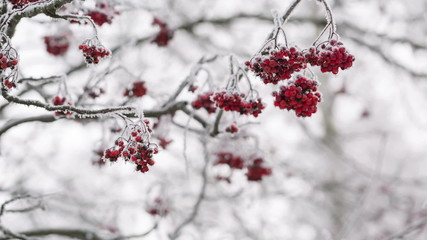 Rowanberries covered with hoarfrost and snow, shoot