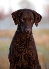 curly coated retriever dog portrait