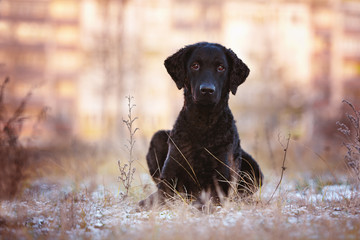 curly coated retriever outdoors