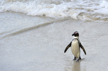 African penguin  at the Beach.
