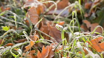 frosted grass with oak leaves, after first cold night