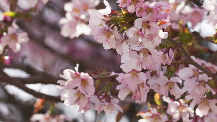 sakura cherry flowers in bloom, closeup