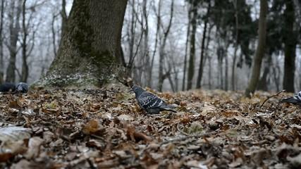 Pigeon walking in deep autumn park