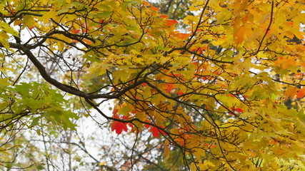 autumn maple leaves sways on wind