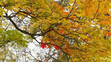 autumn maple leaves sways on wind
