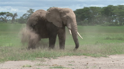 A big bull elephant dusting himself