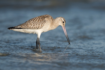 Bar-tailed Godwit (Limosa lapponica) pulling a worm out from bel