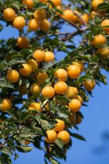 Ripe yellow plums on the tree. Fruit tree.  Ukraine.