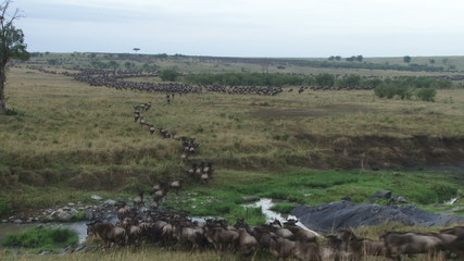 A big group of wildebeests running together during migration