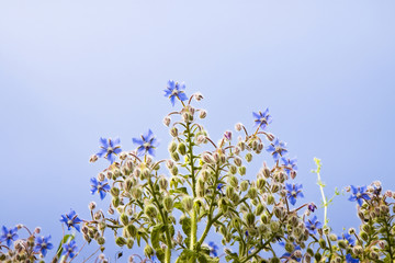 Borage plants with blue flowers