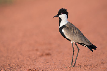 Spur-Winged Lapwing (Vanellus spinosus) standing on a red dirt r