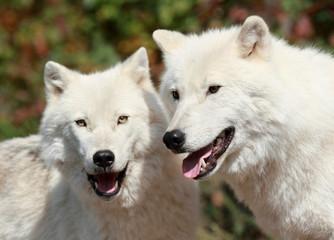 deux loups