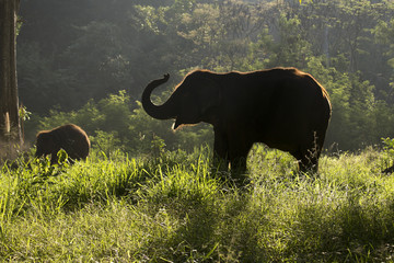 Silhouette of Elephant walking