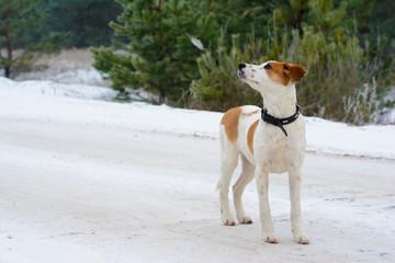 Winter portrait of Istrian Shorthaired Hound dog