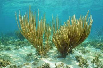 Underwater Porous sea rods corals