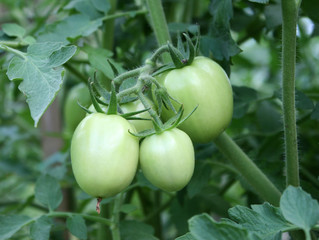 Green Tomatoes in a garden; close up